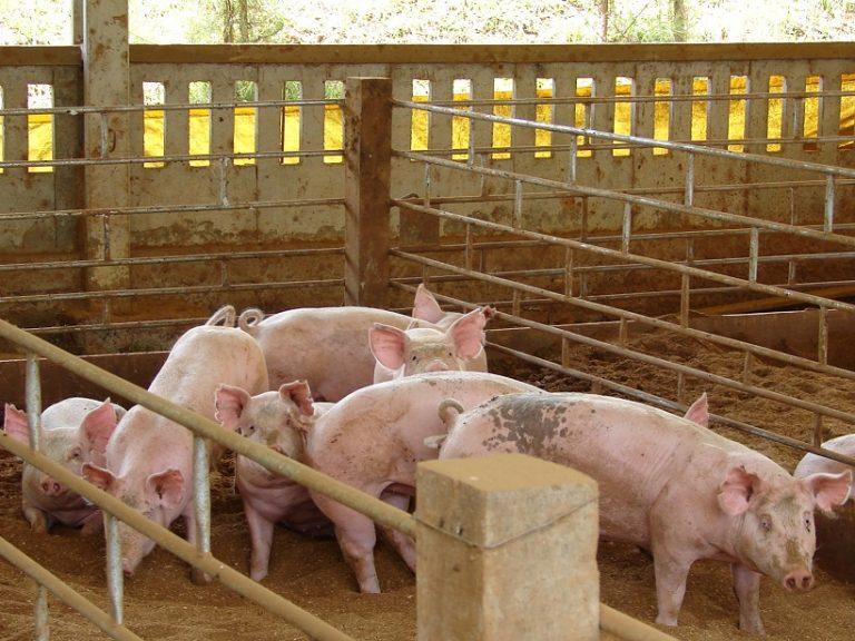 夏天養豬廠減溫對策大歸納